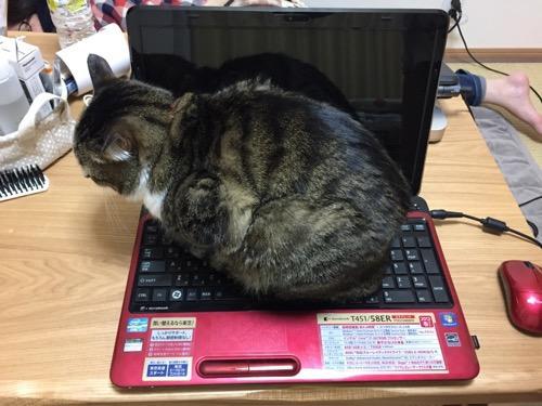 ノートパソコンのキーボードの上に容赦なく乗る猫-ゆきお(上方より)