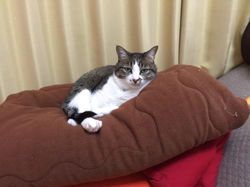 名残惜しそうに洗濯前のこたつ布団に鎮座する猫-ゆきお
