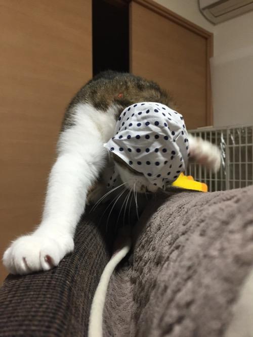 かわいい かわいい ねこ泥棒の「豆絞り/あお」を脱ぐために頭や手を振り回す猫-ゆきお