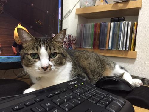 Microsoftキーボードの背後に座ってこちらを見つめる猫-ゆきお