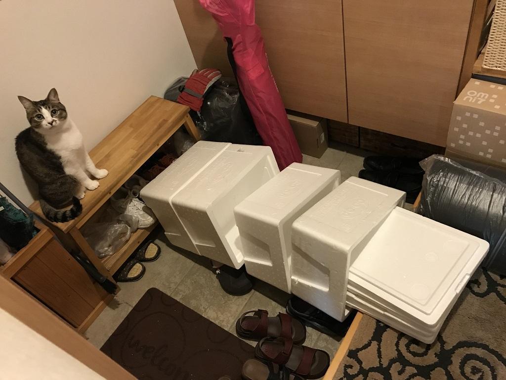 玄関で縦に積み重ねていた発泡スチロールの箱を横倒しにしてキョトンとした表情の猫-ゆきお