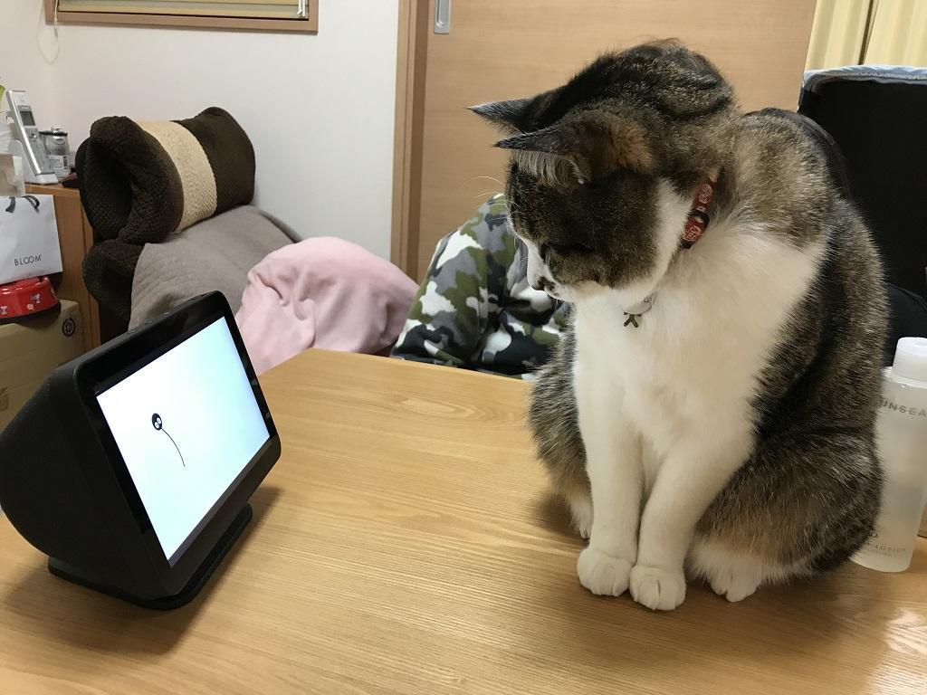 Echo Show 8のディスプレイ画面を見つめる猫 - ゆきお