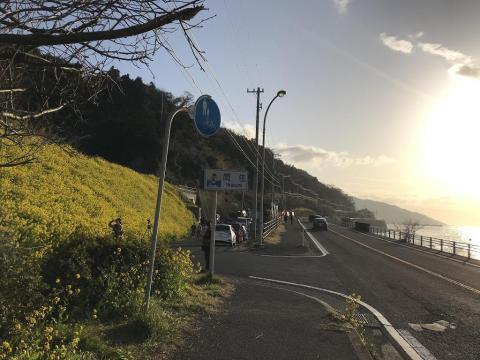 愛媛県伊予市双海の菜の花の見どころスポット「閏住」の菜の花が綺麗だった