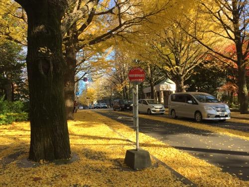 宮城県庁前のイチョウ並木の黄葉と落葉(仙台市交通局のバス乗り場「特別支援学校前行」付近)