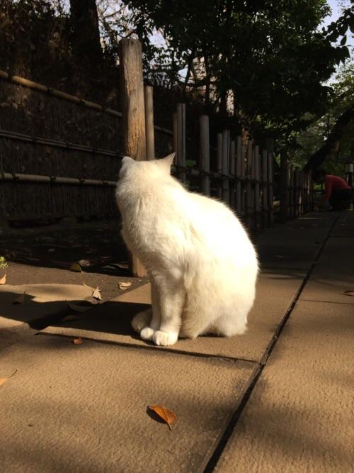 愛宕神社境内にいた白猫ー近づいて撮影。顔はそむけられた