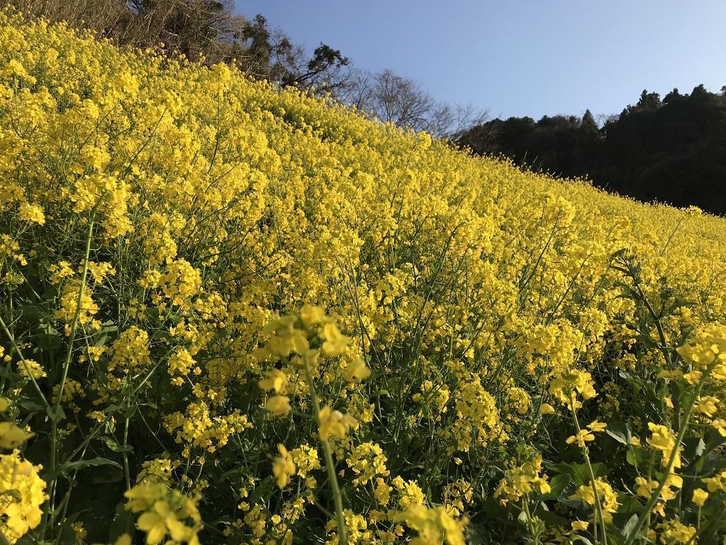 愛媛県伊予市双海町、閏住の菜の花と青い空